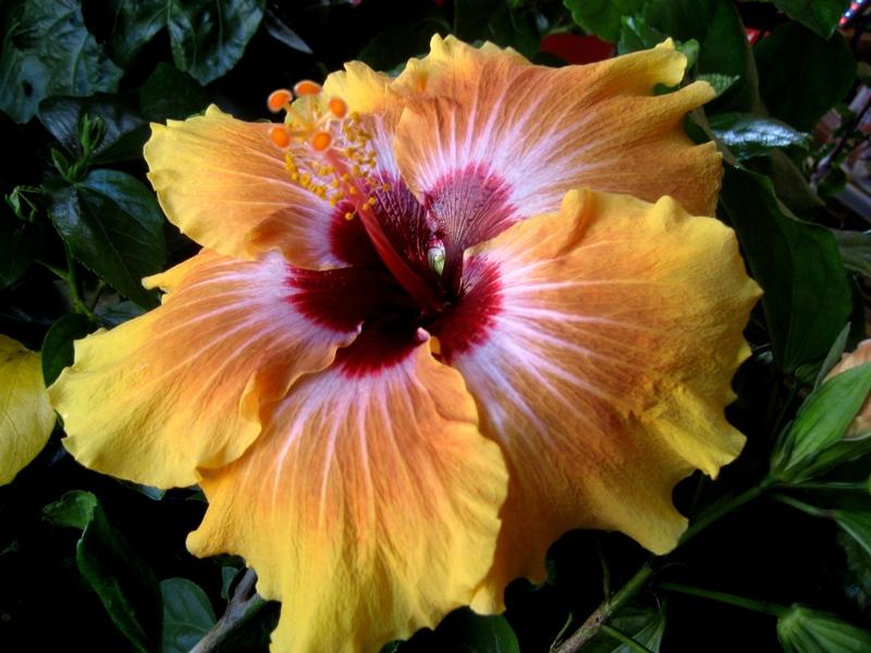 der hibiscus rosa sinensis pflanzen magazin pflanzen wundersch n green24 hilfe pflege bilder. Black Bedroom Furniture Sets. Home Design Ideas