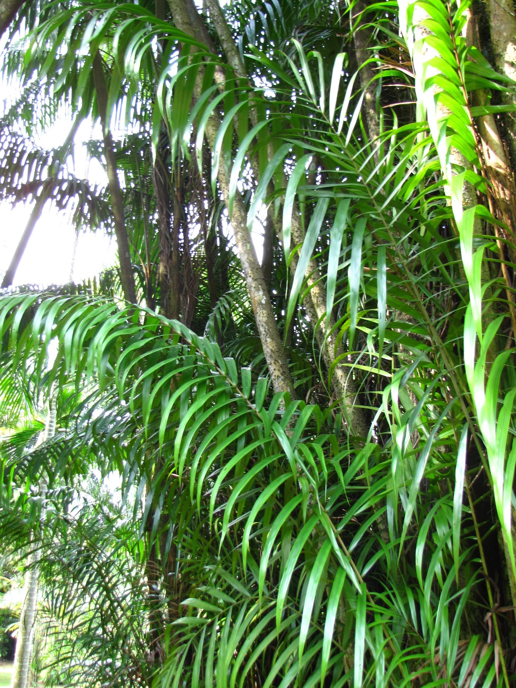 exotische sch nheit mit stacheln bewehrt nibung palme pflanzen magazin pflanzen. Black Bedroom Furniture Sets. Home Design Ideas
