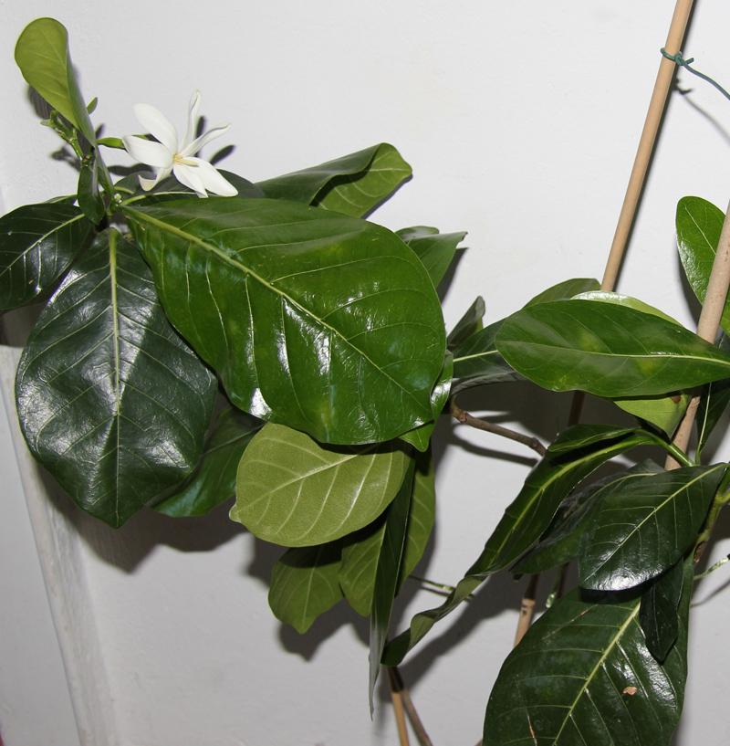 Duftende Südseeträume Die Königin Der Gardenien Tiare Pflanzen
